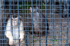 Affe, der durch Zoo schaut Lizenzfreies Stockfoto