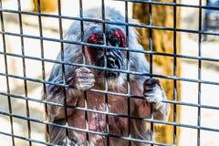 Affe, der durch Zoozelle schaut Lizenzfreie Stockfotos