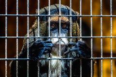 Affe, der durch Zoozelle schaut Lizenzfreies Stockbild
