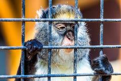 Affe, der durch Zoozelle schaut Stockfotos
