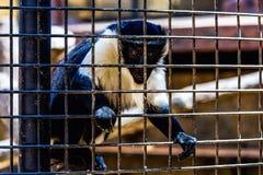 Affe, der durch Zoozelle schaut Lizenzfreie Stockfotografie
