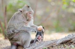 Affe, der Eier isst Stockfoto