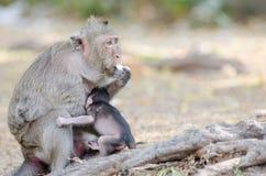 Affe, der Eier isst Stockfotografie