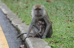 Affe, der ein Baby schützt Lizenzfreie Stockbilder