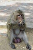 Affe, der ein Stück Mais isst Lizenzfreie Stockfotografie