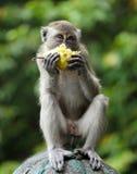 Affe, der eine Birne isst Lizenzfreie Stockbilder