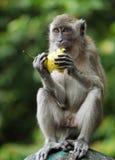 Affe, der eine Birne isst Stockbild