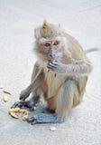 Affe, der eine Erbse isst Lizenzfreie Stockbilder