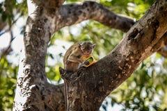 Affe, der eine Frucht auf einem Baum isst Lizenzfreies Stockfoto