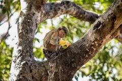 Affe, der eine Frucht auf einem Baum isst Stockfotografie