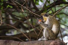 Affe, der eine Frucht isst Lizenzfreie Stockfotografie