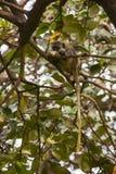 Affe, der eine Frucht isst Stockfotos