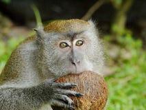 Affe, der eine Kokosnuss beißt Lizenzfreie Stockfotos