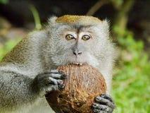 Affe, der eine Kokosnuss beißt Stockbilder