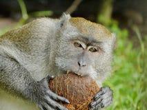 Affe, der eine Kokosnuss beißt Stockfoto