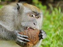 Affe, der eine Kokosnuss beißt Lizenzfreies Stockfoto
