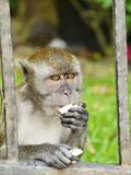 Affe, der eine Kokosnuss beißt Lizenzfreies Stockbild