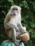 Affe, der eine Kokosnuss hält Stockfotografie