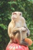 Affe, der eine Kokosnuss hält Stockbild