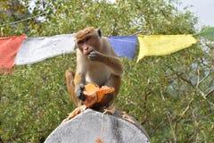 Affe, der eine Kokosnuss isst Lizenzfreies Stockfoto