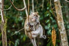 Affe, der eine Niederlassung beißt Lizenzfreie Stockfotografie