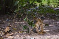Affe, der eine Niederlassung zieht Lizenzfreie Stockfotos