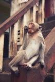 Affe, der eine Nuss isst; Lizenzfreies Stockbild