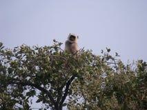 Affe, der eine Uhr hält Stockfoto