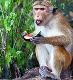 Affe, der eine Wassermelone isst Stockfoto