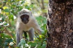 Affe, der in einem Baum klettert Stockbild