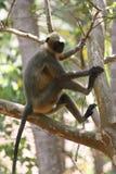 Affe, der in einem Baum sitzt Lizenzfreie Stockfotos
