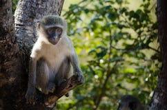 Affe, der in einem Baum stillsteht Lizenzfreies Stockbild
