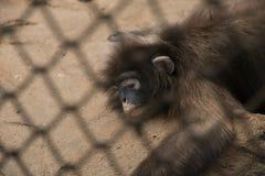 Affe, der in einem Käfig schläft Lizenzfreies Stockfoto