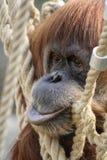 Affe, der in einem Netz sich entspannt stockbilder