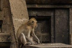 Affe, der in einem Tempel sitzt Stockfotos