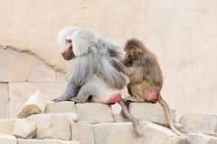 Affe, der einen anderen Affen pflegt Lizenzfreie Stockbilder