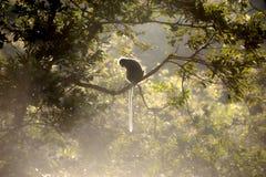 Affe, der einen Baum auf Sonne sitzt (Presbytis-obscura Reid). Stockfotografie