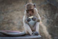 Affe, der einen Fruchtsnack isst Lizenzfreies Stockfoto