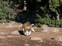 Affe, der einen Gegenstand in den Atlas-Bergen studiert Stockfotografie