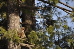 Affe, der einen Mais isst Lizenzfreie Stockfotografie