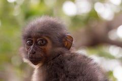 Affe, der entlang der Kamera anstarrt Stockfotografie