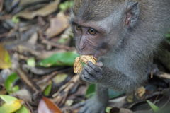 Affe, der Erdnüsse, Ubud, Indonesien isst Stockfoto
