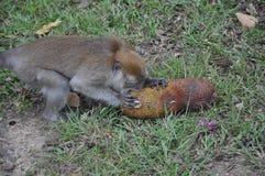 Affe, der es Lebensmittel isst Stockbild