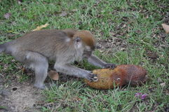 Affe, der es Lebensmittel isst Lizenzfreie Stockbilder