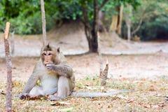 Affe, der etwas in Angkor Wat isst Lizenzfreie Stockfotografie