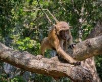 Affe, der für Nahrung erreicht stockbilder