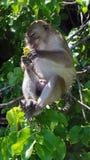 Affe, der für Touristen in Thailand aufwirft Stockfoto