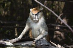 Affe, der für Wasser kommt Stockfotografie