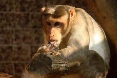 Affe, der Finger leckt Stockfotos