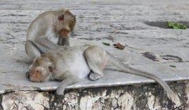 Affe, der Flöhen und nach Zecken sucht Stockfotos